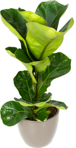 FICUS Lyrata ( Fiddle leaf fig ) - Available NOW!